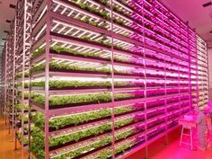 This former semiconductor factory is now the world's largest indoor farm, producing 10K heads of lettuce per day