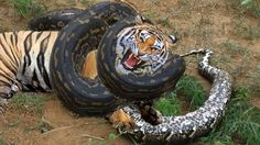 12 CRAZIEST Animal Fights Caught On Camera & Most Amazing Wild Animals AttacksThanks For Watching  If you like video don't forget Subscribe my channel to watch more video This Videos 12 CRAZIEST Animal Fights Caught On Camera & Most Amazing Wild Animals Attacks - Big Battle Animals Fight - Giant Anaconda attacks Dog  CRAZIEST Animal Fights Caught On Camera #6 Final - Most Amazing Wild Animal Attacks HD. 12 CRAZIEST Animal Fights Caught On Camera #4 Final - Most Amazing Wild Animal…