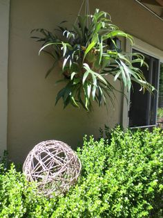 This sphere is made from cuttings from my Wisteria vine. Bet grape would be good too, over an exercise ball???
