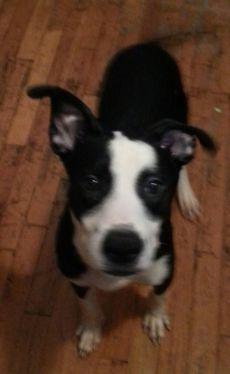 Precious Pitski for Adoption 7 months $200.00