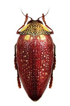 Sternocera feldspathica