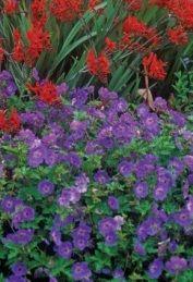 Contrasting beautifully with tall spikes of Crocosmia Lucifer Full Sun Perennials, Best Perennials, Flowers Perennials, Purple Perennials, Herbaceous Perennials, Garden Shrubs, Garden Plants, Flowers Garden, Water Garden