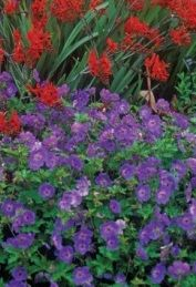 Hardy Geranium 'Rozanne'