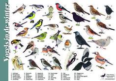 Herkenningskaart / zoekkaart Vogels in de winter