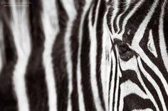 Monochrome Zebra Portrait by Rudi van den Heever