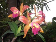 Orquídea uma beleza  grátis e incomparável da natureza !