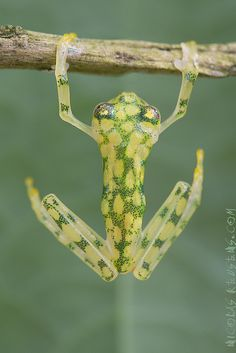 """Early Morning Exercise"" - photo by Nicolas Reusens, via Flickr; (Centrolenidae anura); ""This amazing frogs have transparent skin, allowing you to view inside its small body. They are so transparent that it almost looks as if they melt into the leaves and become one with them.While the general background coloration of most glass frogs is primarily lime green, the abdominal skin of some members of this family is translucent."""