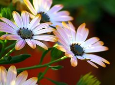 African Daisys