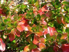 azalea hino crimson   PlantFiles: Picture #10 of Azalea 'Hino Crimson' (Rhododendron)