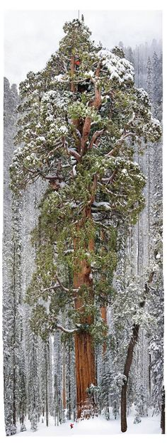 Cloaked in the snows of California's Sierra Nevada, the giant sequoia called the President rises 247 feet. See the tiny little person at the foot of the tree? So majestic! Michelangelo, Winter Scenes, Science And Nature, Natural Wonders, Tree Of Life, Amazing Nature, First Photo, The Great Outdoors, Beautiful Places