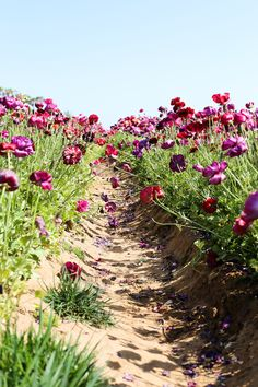 Beautiful california flower fields you must visit this spring the flower fields at carlsbad ranch mightylinksfo