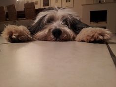 bearded collie...i'm gonna get it!