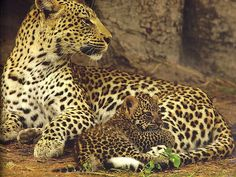 Jaguar mom and baby