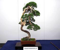Beautiful Juniper Bonsai on display in Japan, photo by 日本盆栽作風展. Do you like it? #bonsai #盆栽 #盆景 #bonsaitree #nature #art