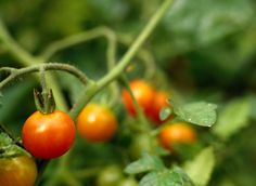 Gardeners often marvel over towering tomato plants in the garden. What many people do not know is that too much upward growth of the tomato plant can cause problems with the...