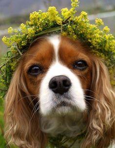 Очаровательный спаниель в цветочном венке