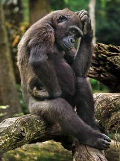 Monkeying around: Gorilla apes The Thinker pose at French zoo ...