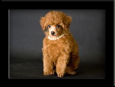 Poodle Toy Red Bronson 05jpg Picture