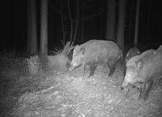 Schwarzwild - Wildkamera von revierbedarf.at Google Drive, Parks, Garden, Animals, Cellular Network, Glass House, Hunting, Camera, Animales