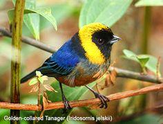 Golden-collared Tanager. Birding Manu NP Bird, Wildlife & photography Tours - Amazon birding