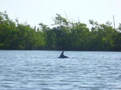 One of the many dolphins we saw. It was tough to get a good picture on our kayaking day tour in cocoa beach! How fun..