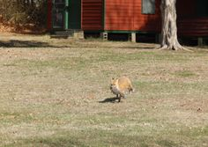 fox on his way to lunch right through our  yard, right past where I was sitting. unbelievable.