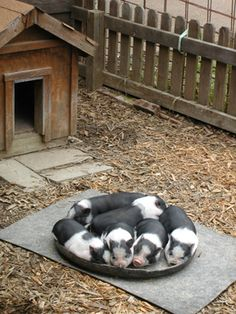 piggie nap time @Leslie Lippi Riemen Mastin I can see you having a cute little pig pen like this someday (: