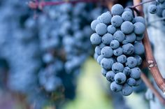 You may love Pinot Grigio and not Pinot Noir, but did you know they actually come from the same grape? Pinot Noir, Blueberry, Vineyard, Wine, Fruit, Search, Google, Image, Red Wine