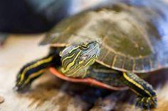 Aquatic turtles for sale online cheap, buy baby aquatic turtles, water turtle breeders near me live turtles for sale and baby freshwater turtle store. Backyard Coop, Large Backyard, Backyard Birds, Baby Turtles For Sale, Small Turtles, Baby Tortoise, Tortoise Turtle, Turtle Store, Freshwater Turtles