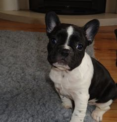 Millie, a French bulldog when she was about 8 weeks old.   by Joseph
