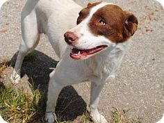 Mindy - URGENT - Calhoun County Humane Society, Inc. in Anniston, Alabama - ADOPT OR FOSTER - 4 year old Female Pointer/Terrier Mix - AT SHELTER SINCE October 13, 2015