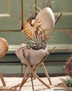 shells with air plants This is my next fun idea in the house.