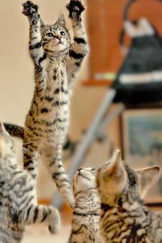ADOPTION de Chats et chatons. Cliquer pour consulter les journées d'adoption de…