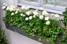 Ranunculus and ivy windowboxes