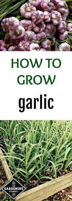 Want to learn how to grow your own garlic? This guide will teach you the basics so you can grow in your own vegetable garden.