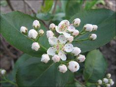 secchiのほどほど人生   アロニアの花をゆっくり見たのは初めてだわ 中々カワユイ    昨年は気が付いた時はすでに実になりつつあったので。