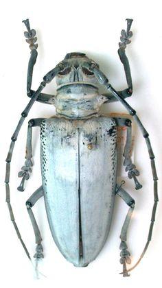 Rosenbergia vetusta – CERAMBYCIDAE Subfamily Lamiinae