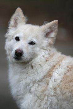 Hungarian Dog, Saarloos, Australian Cattle Dog, Australian Shepherds, Rare Dog Breeds, Farm Dogs, Dog Varieties, Dog List, Alley Cat