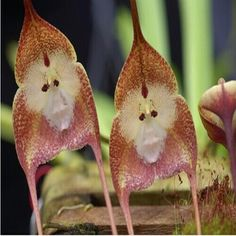 Rare Monkey Orchid | ... Mixture Funny Rare Kinds Of Monkey Face Orchid Flowers Seeds SKU160543
