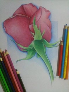 Ilustração Rosa -Edi santos illustration Rose -Edi santos