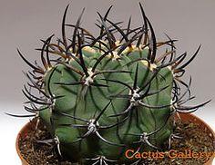 eriosyce ceratistes Cactus Gallery