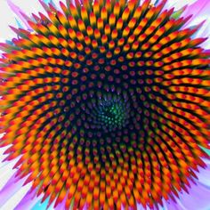 Fibonacci numbers can also be seen in the arrangement of seeds on flower heads.  Nature can also make illusions.