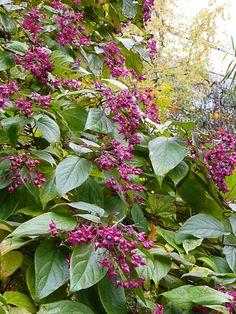 L'arbre du clergé (Clerodendron trichotomum), superbe en automne http://www.pariscotejardin.fr/2012/11/l-arbre-du-clerge-clerodendron-trichotomum-superbe-en-automne/