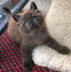 Ragdoll Cattery, Ragdoll Cat Breed, Ragdoll Kittens, Pets 3, Pet Dogs, Dog Cat, Cute Cats And Kittens, Baby Cats, Kitty Cats