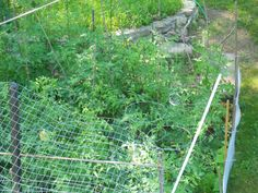 July 19: The tomatoes have already grown beyond my 5-6 foot stakes! Have to put aside some 8-foot tree branches for next year!