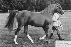 Bright Shadow 1948 ch.s. Radio x Pale Shadow by Rissalix  5 crosses to Mesaoud.  3lines to the mare Risala  who was the dam of Rasim and Rissla.