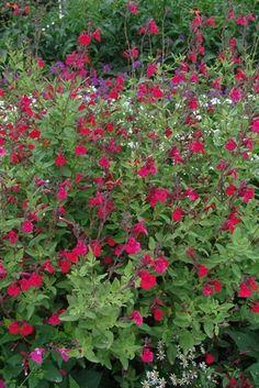 Salvia greggii 'Maraschino' (Autumn sage)