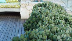 Crassula arborescens 'Bluebird' for turkish pots on verandah Balcony Garden, Garden Beds, Garden Plants, Cacti And Succulents, Planting Succulents, Cactus, Pyrus, Garden Design Plans, Coastal Gardens