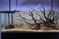 Aqua scaping biotope | ... Red Head Tapajos biotope build. - Aquascaping - Aquatic Plant Central