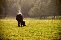 Cow steaming after the rain